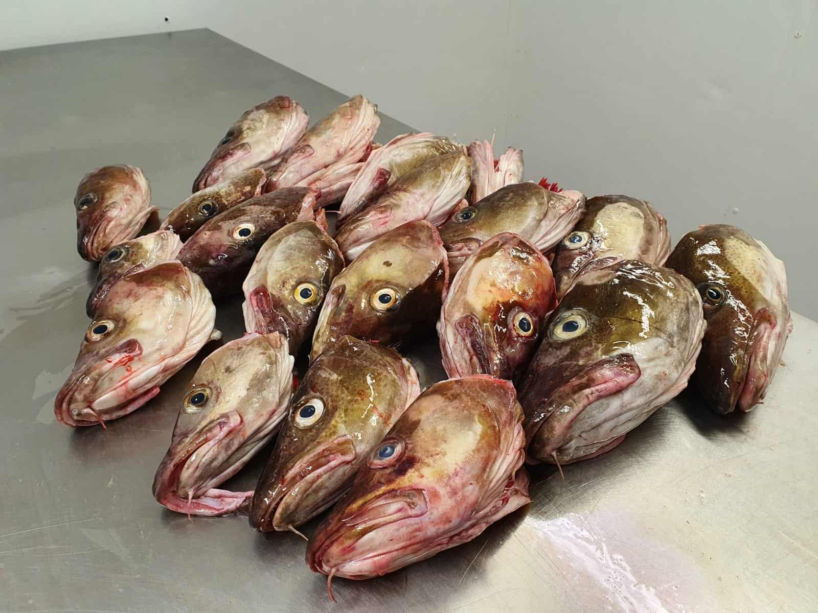 冷冻大西洋鳕鱼头