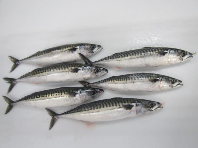 Atlantic Mackerel Scomber Scombrus Suppliers Exporters