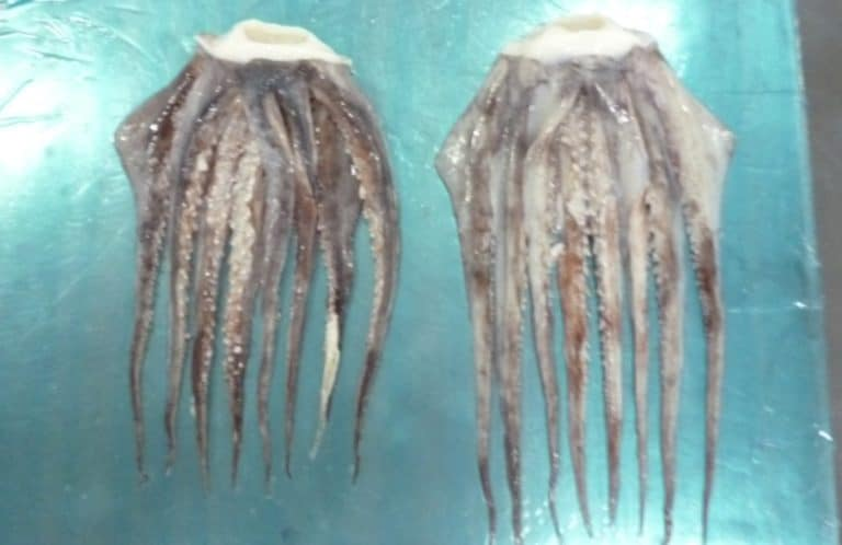 Giant Squid Tentacles Suppliers Exporters