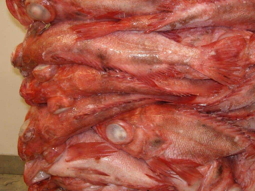 Redfish Whole Suppliers Exporters