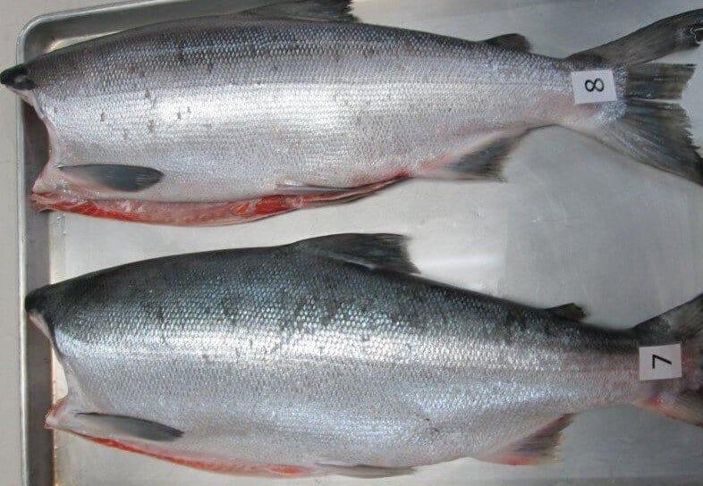 Sockey Salmon HG Frozen