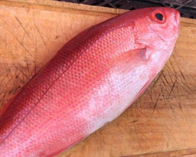 B-Liner 鲷鱼