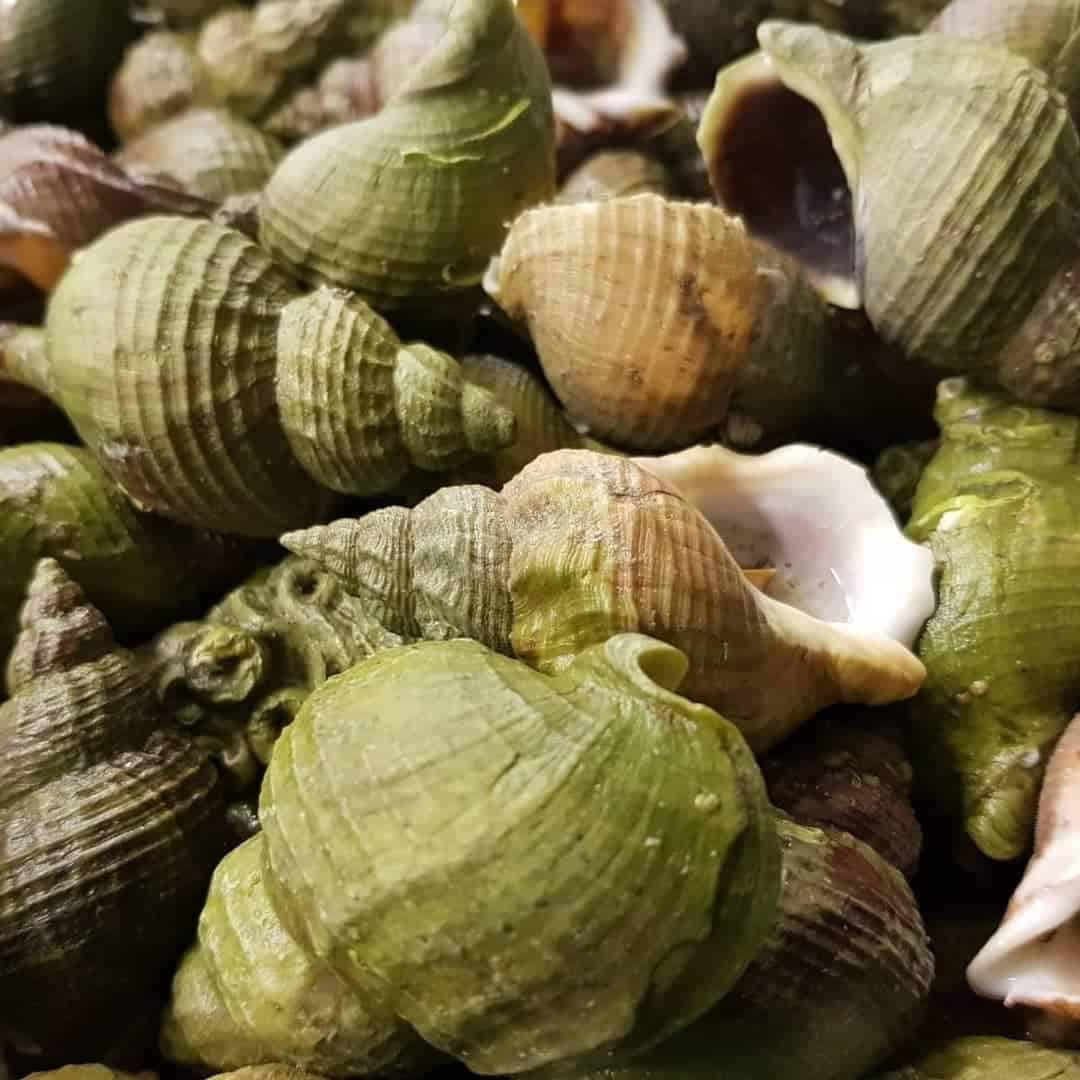 Whole Cooked Whelk Suppliers, Exporters